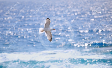 Seagull Over The Sea high resolution