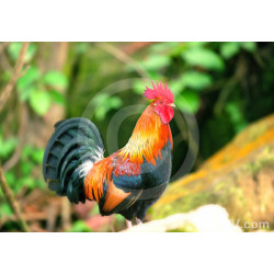 Crowing Rooster Photo